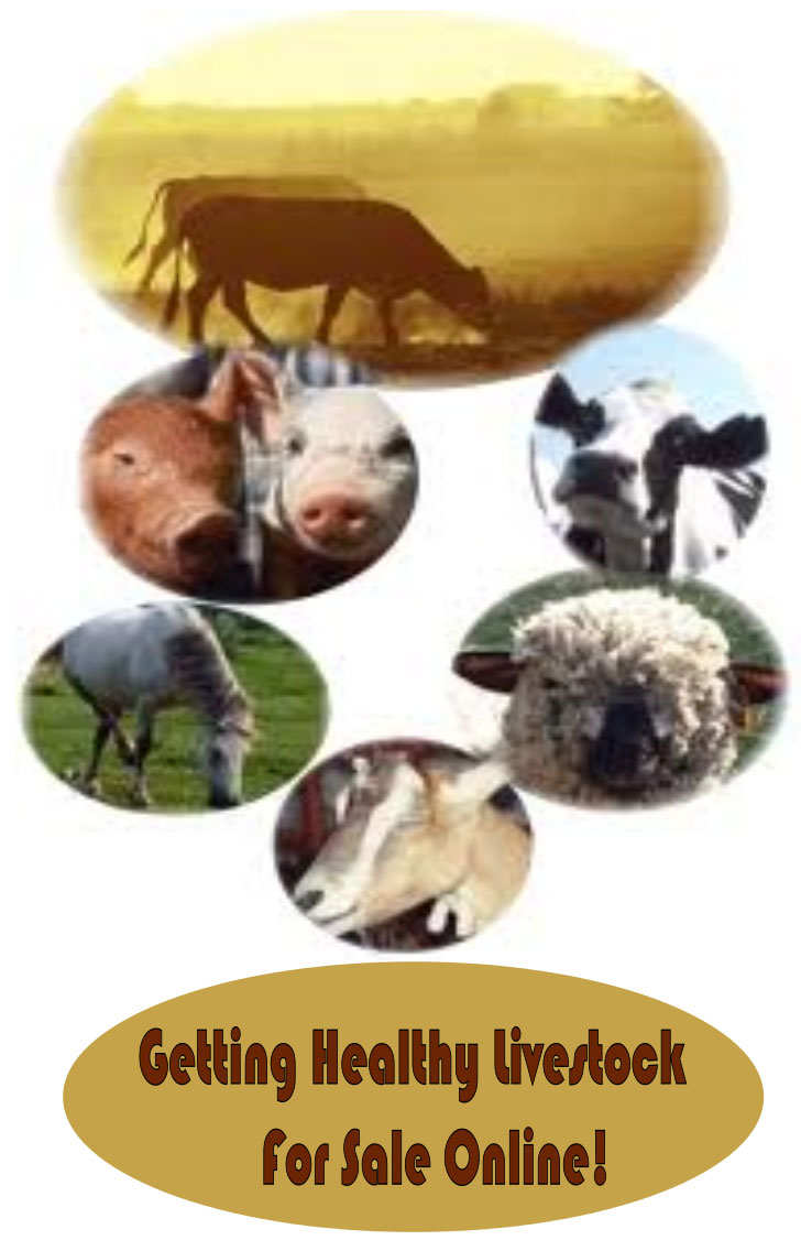 Getting Healthy Livestock For Sale Online