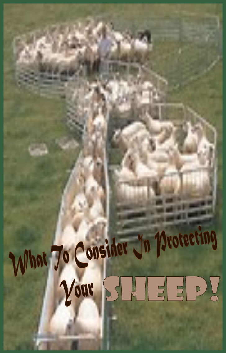 What To Consider When Protecting Your Sheep