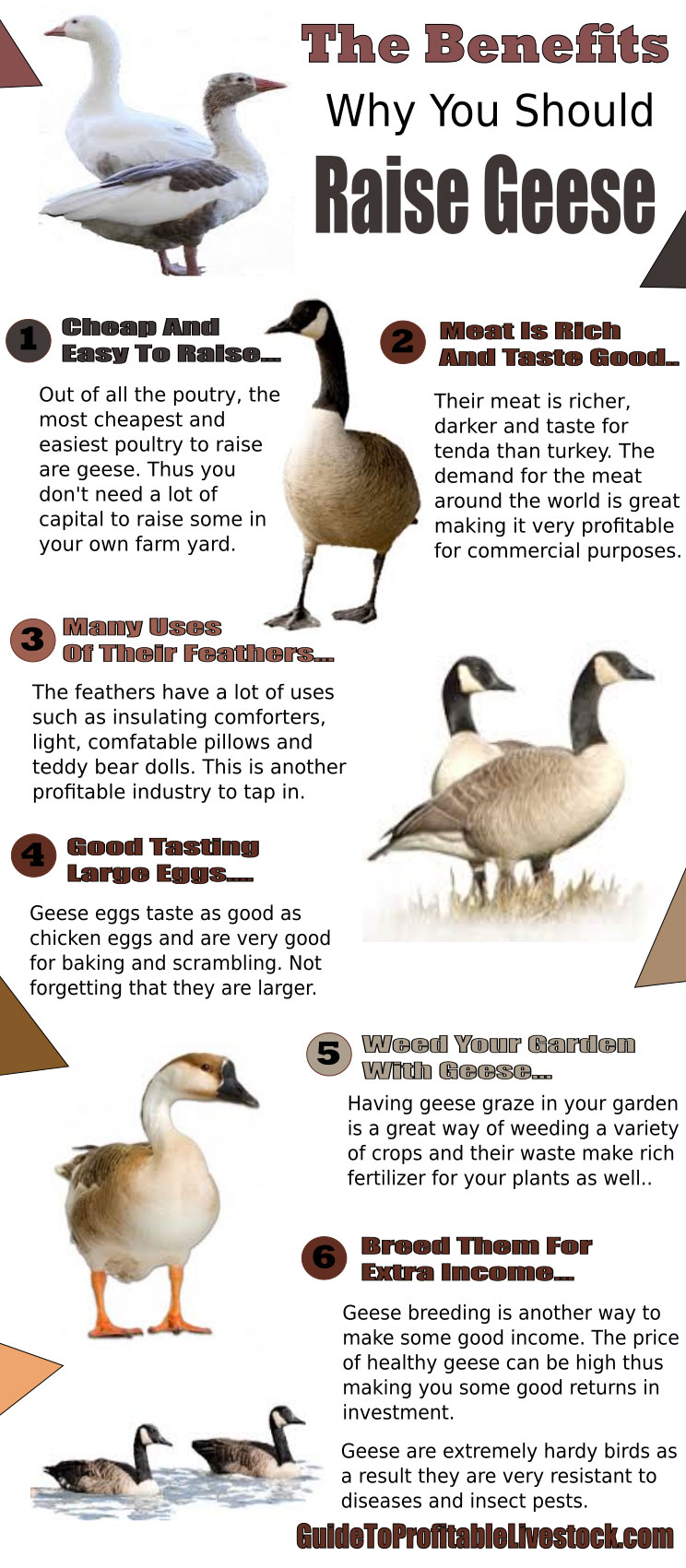 Reasons To Raise Geese