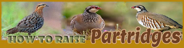 How To Raise Partridge | Raising Partridges For Profits | Modern Partridge Farming